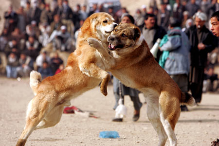 dog-fighting