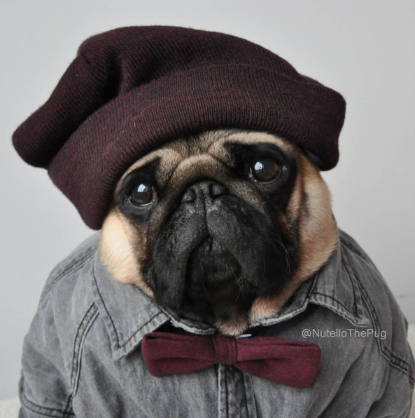 Nutello The Pug Instagram Dog